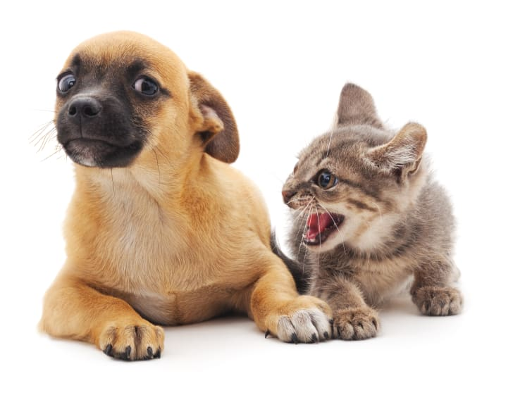Kitten screams at scared-looking puppy.