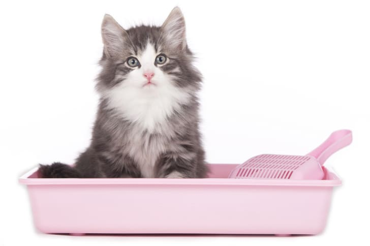 Fluffy gray cat sitting in a pink litter box.