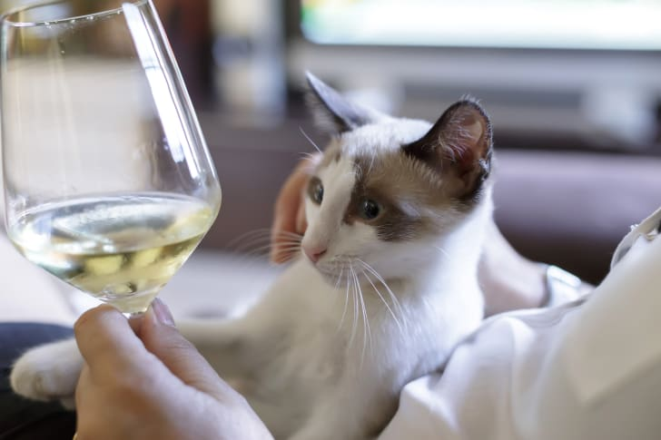 White and brown cat stares at a glass of white wine.