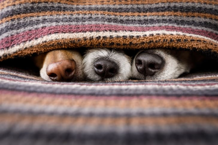 Dog noses poking out beneath blanket.