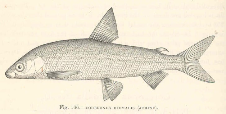 A drawing of a gravenche, an extinct freshwater fish