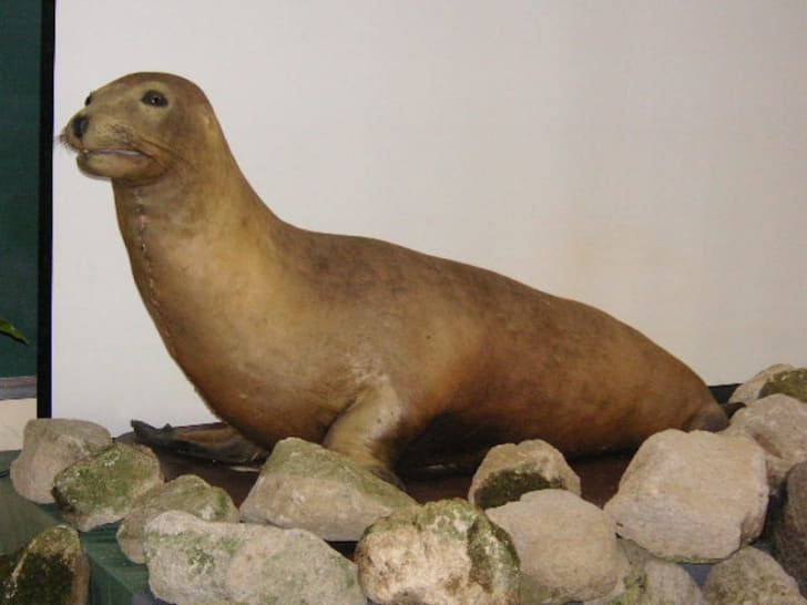 a stuffed Japanese sea lion on display