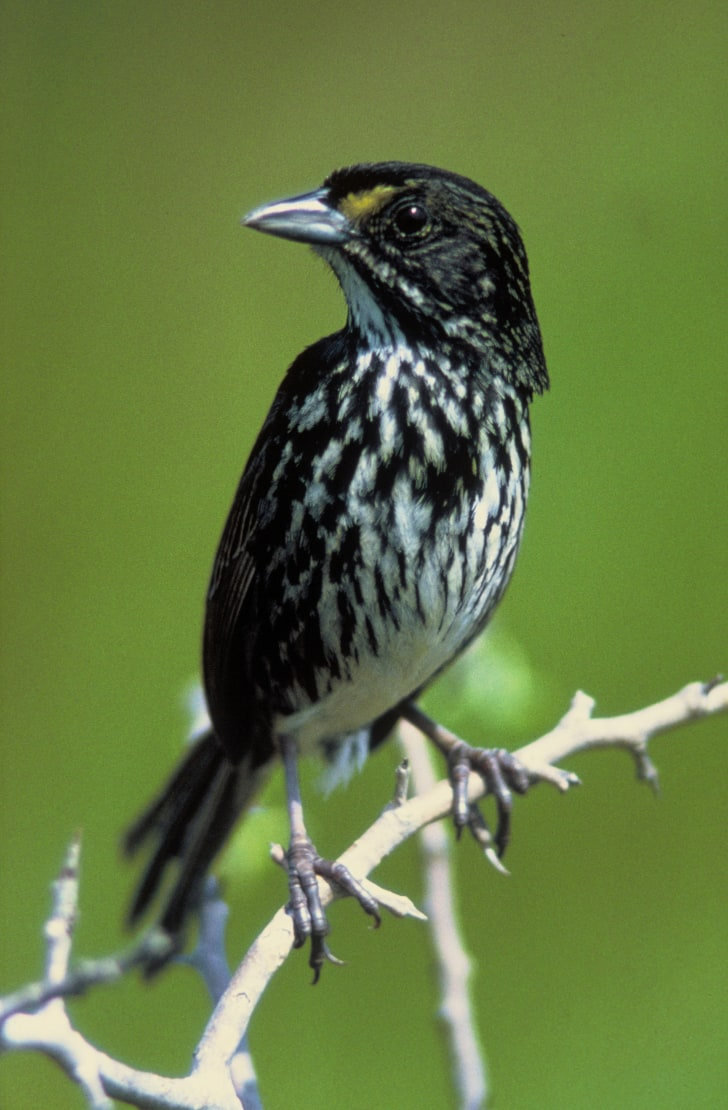 A Dusky Seaside Sparrow outside on a branch