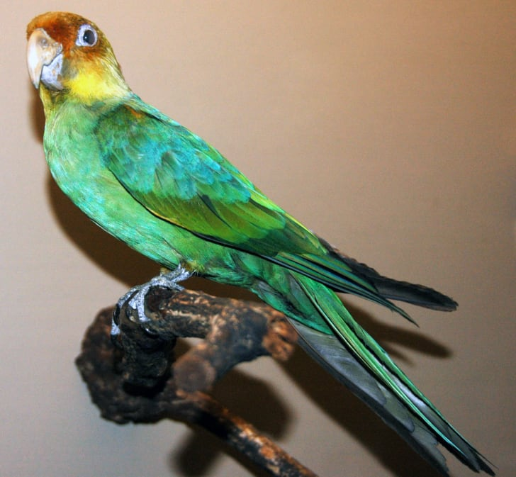 A mounted Carolina parakeet