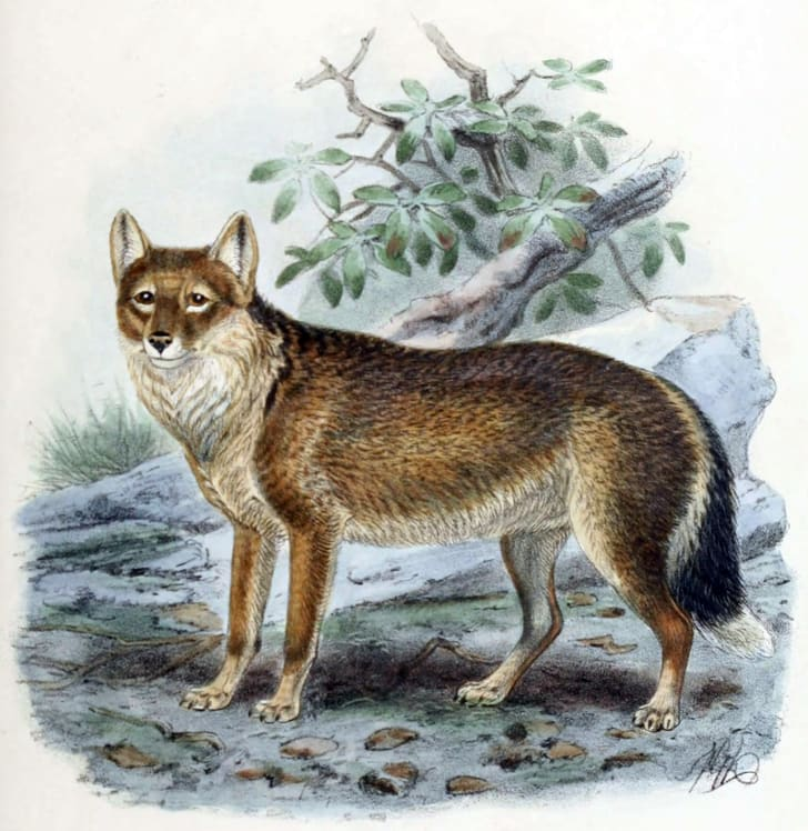 The warrah, or Falkland Island wolf or fox
