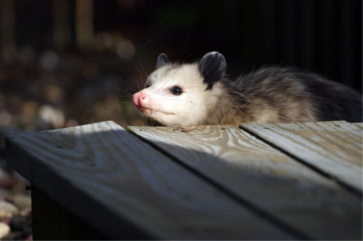 Possum looking up at table.