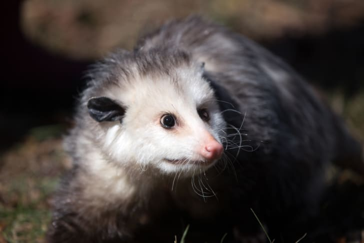 Close-up on opossum's face.
