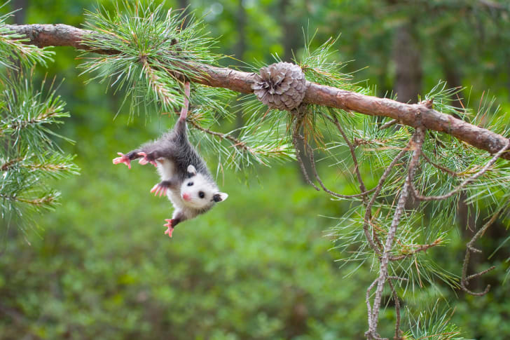 Baby opossum hanging from a tree branch by its tail.
