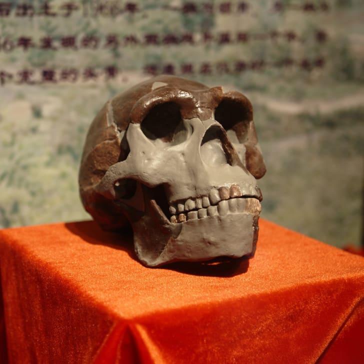 A replica of the Peking Man Skull