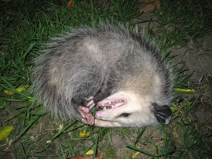 possum playing dead in the grass