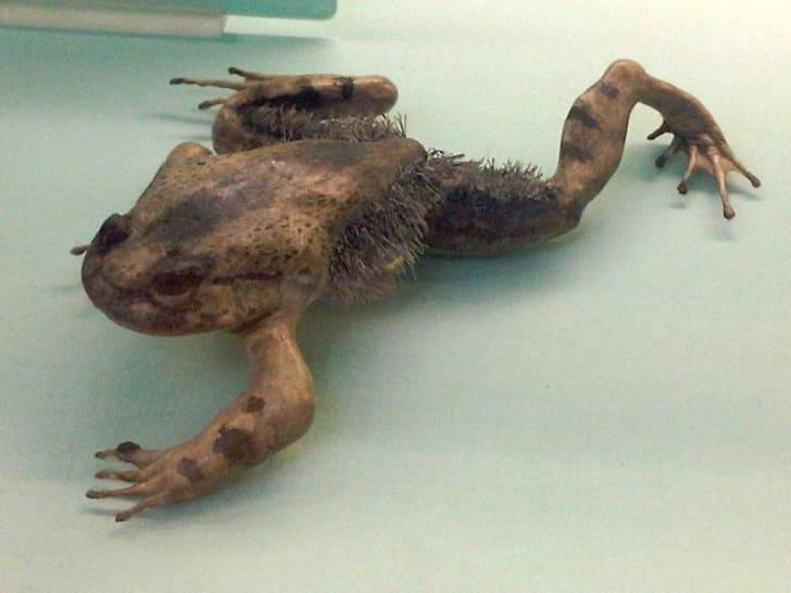 Trichobatrachus robustus, aka hairy or horror frog