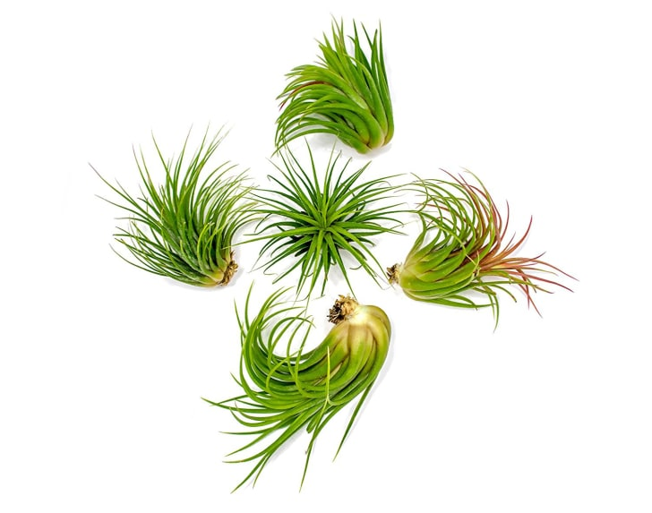 Five air plants