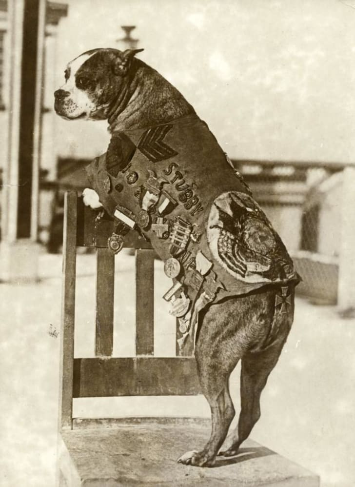 The American army dog Sergeant Stubby (ca 1916-1926)