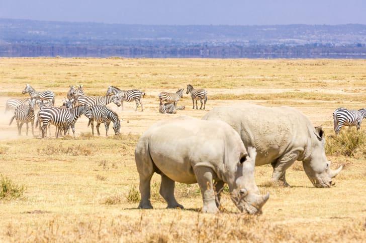 rhinos gathering with zebras
