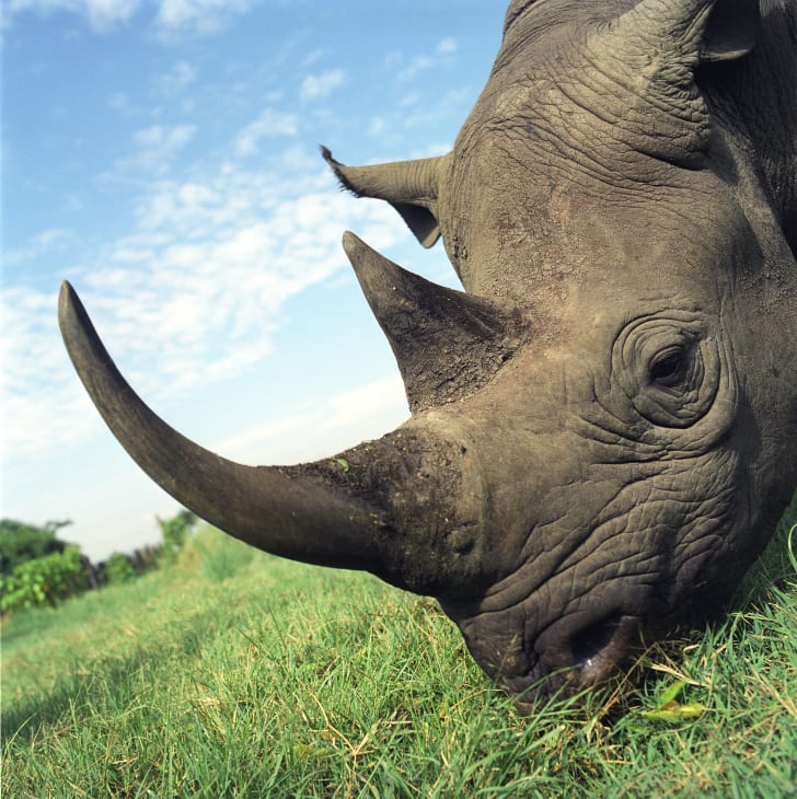 close-up on a rhino's horns