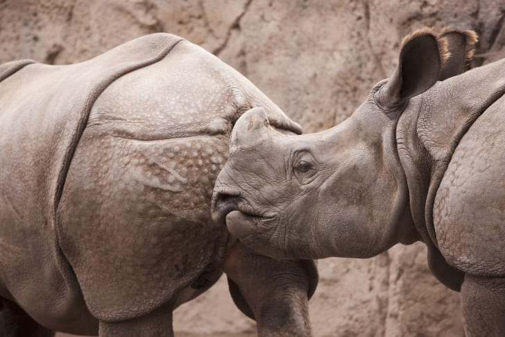 rhino sniffing another rhino's butt
