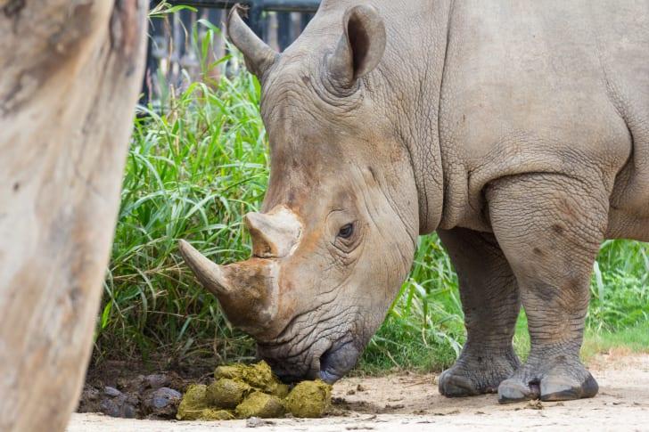 rhino sniffing poop
