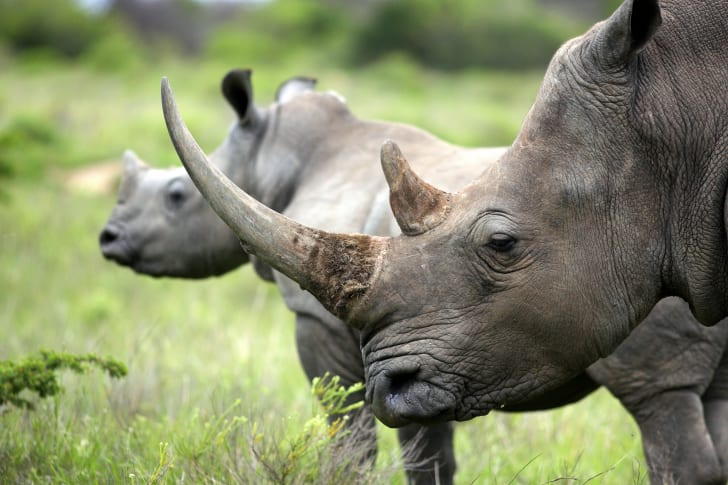 two rhinos standing in grass