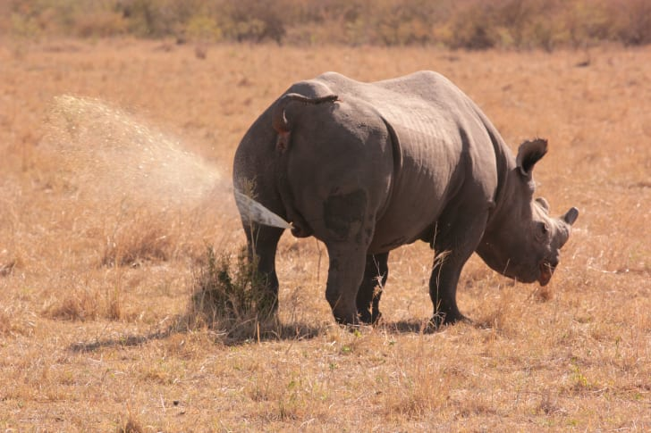 rhino spray urinating