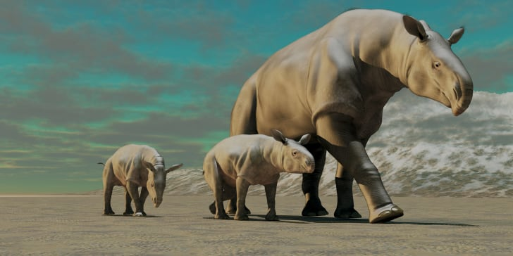 older rhino walking with two younger rhinos