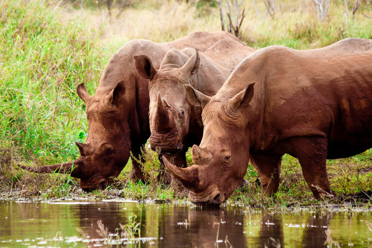 Three rhinos drinking water