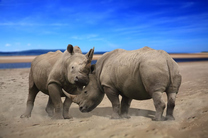 two male rhinos fighting with their horns