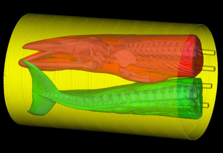 A CT scan of two halves of a dead whale