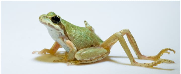 deformed pacific chorus frog infected with ribeiroia ondatrae parasite