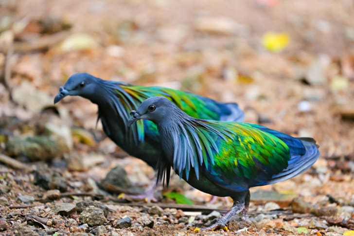 Two blue and green Nicobar pigeons.