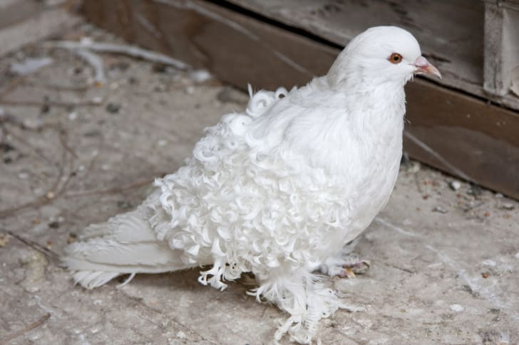 A white pigeon with curly feathers and fluffy feet.