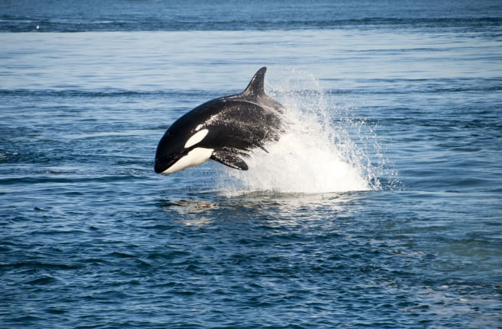 an orca jumping out of the water