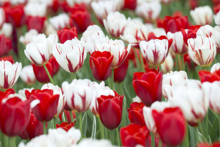 A field of red and white tulips