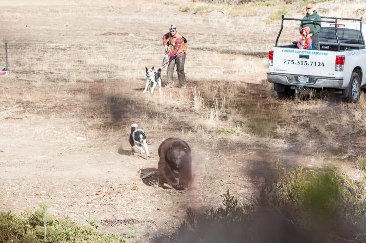 Dog chasing bear.