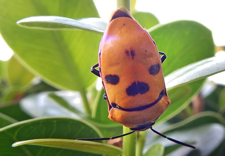 beetle with coloring that looks like a face