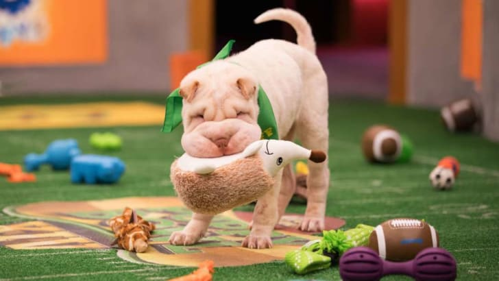 A puppy plays with a toy at the Puppy Bowl.