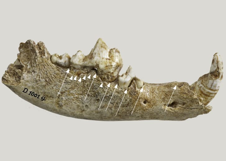 A canine jawbone