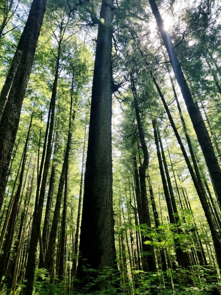 Spruce trees in the Great Bear Rainforest near Klemtu, British Columbia
