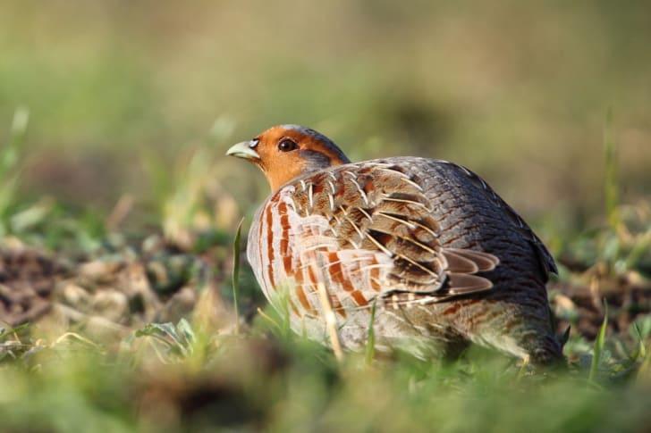 Patridge bird in the grass