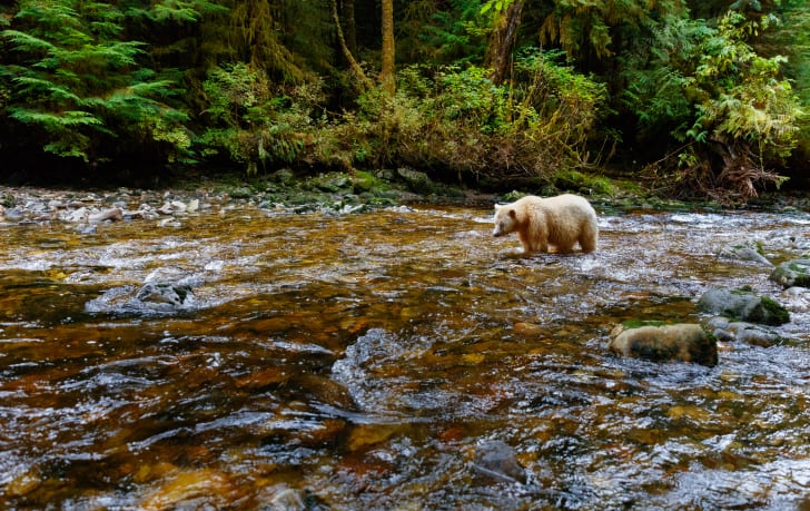 A spirit bear (or Kermode bear) fishes for salmon in the Great Bear Rainforest