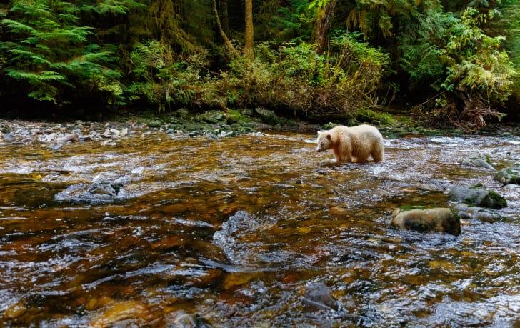 A spirit bear (or Kermode bear) fishes for salmon in the Great Bear Rainforest