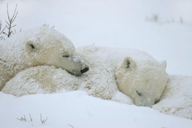 Two polar bears sleep covered in snow.