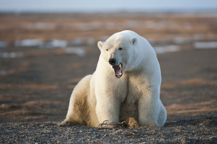 A large polar bear opens its mouth in a roar.
