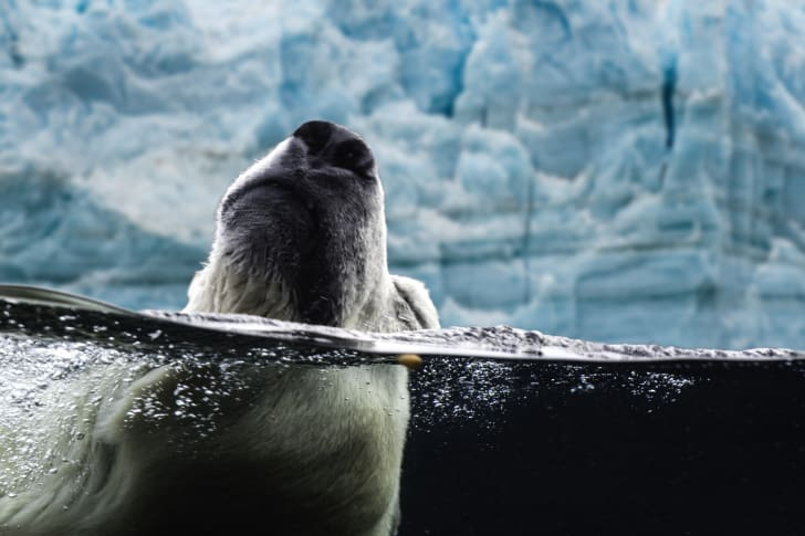 A swimming polar bear peeks its nose out of the water.