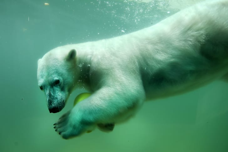 A polar bear in a zoo swims with a ball.