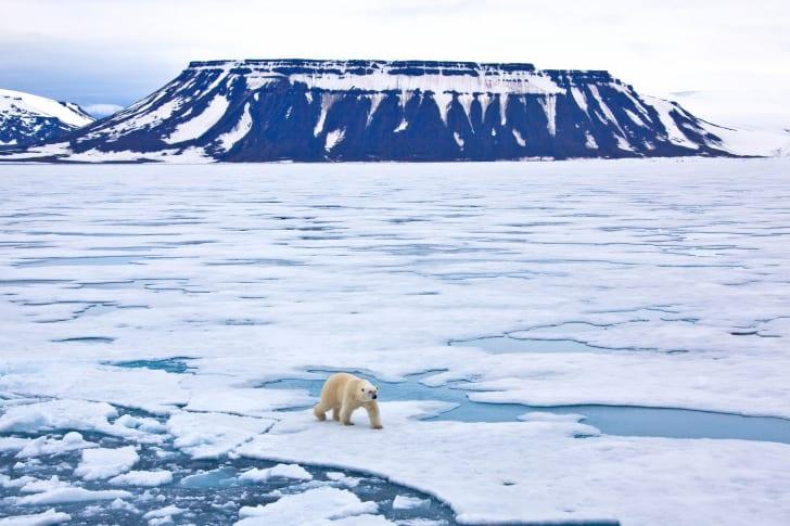 A polar bear walks across a large field of ice.