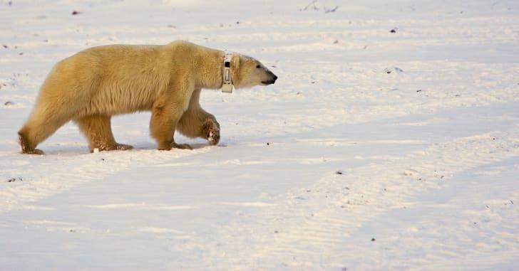 A polar bear wears a tracking collar.