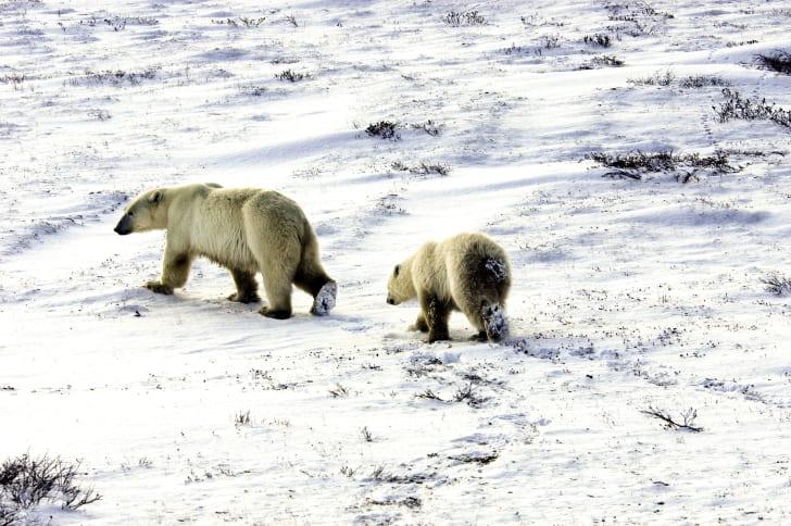 Two polar bears walk through the snow.