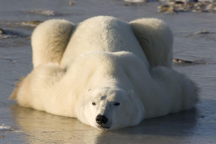 A polar bear sprawls out on its stomach.