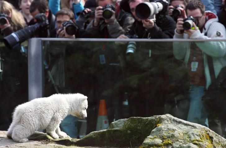 Photographers crowd in front of a barrier to photograph Knut at a zoo.