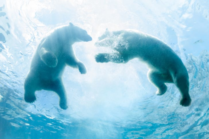 A shot from below of two polar bears swimming in clear blue water